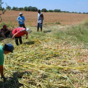 Κομοτηνή: Χυμό από ζαχαροκάλαμο σερβίρει η ΚοινΣΕπ Γενισέα